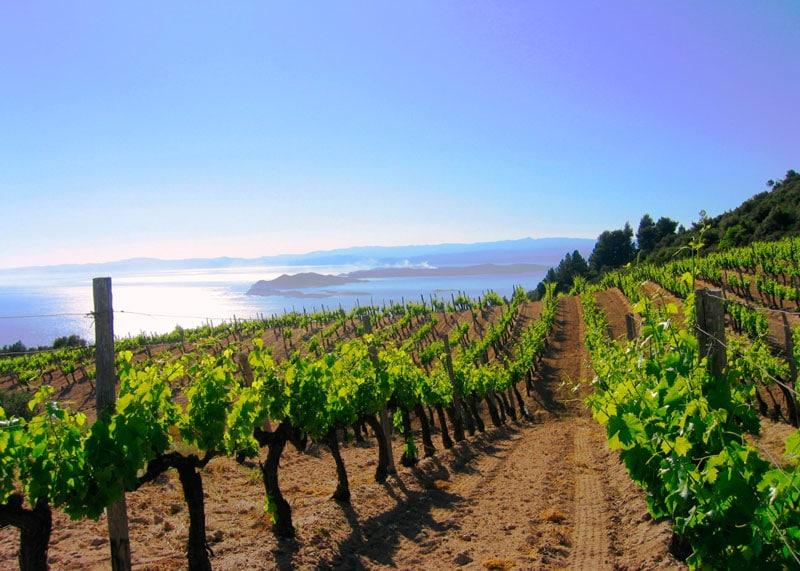 Виноградники в Греции фото