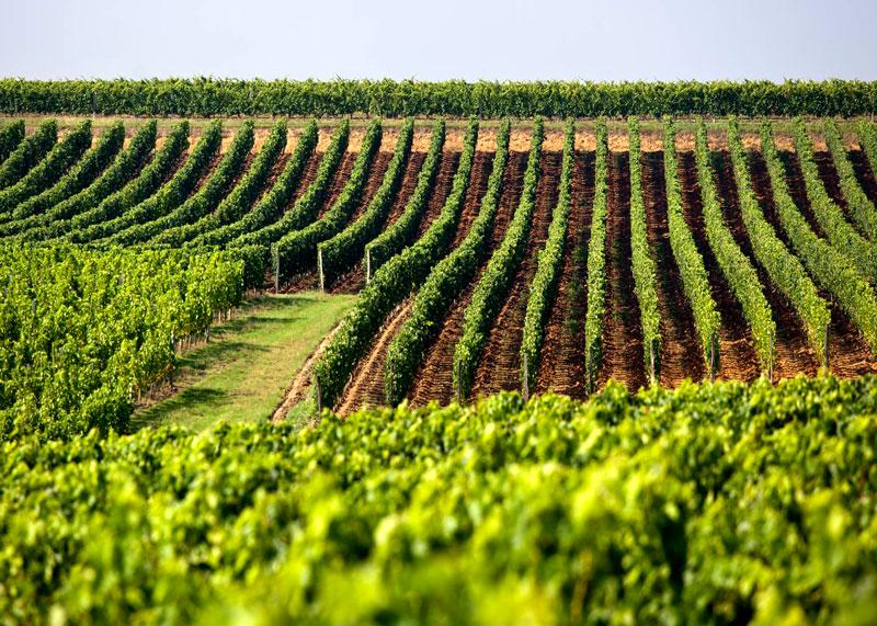 Виноградники Бордо фото