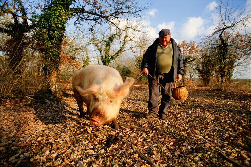 Трюфельная свинья фото