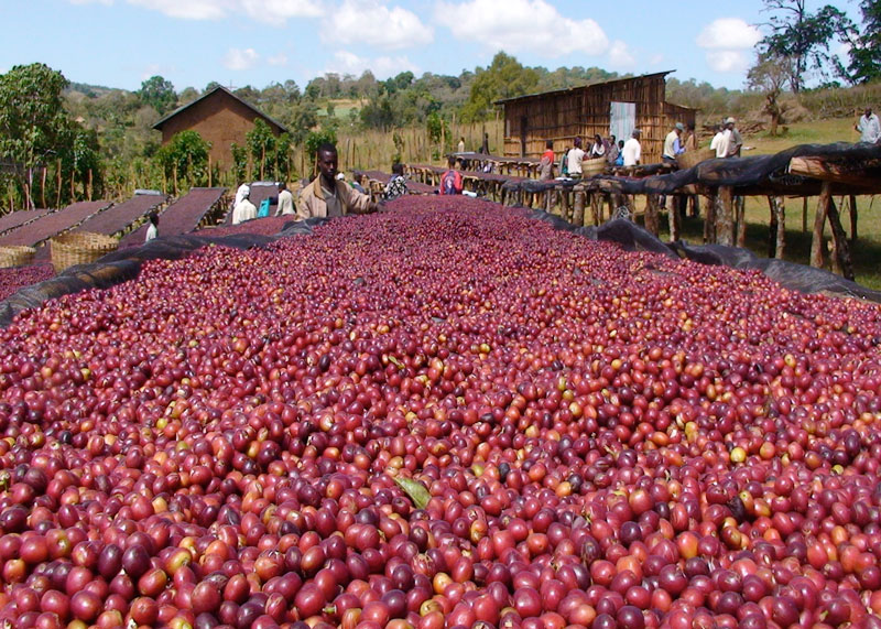 Эфиопия кофе фото