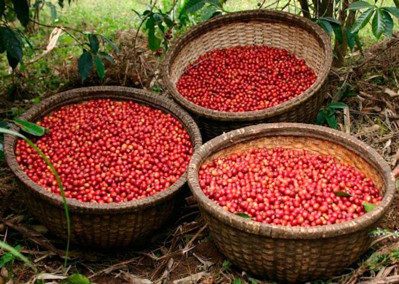 Виды кофе Эфиопия фото