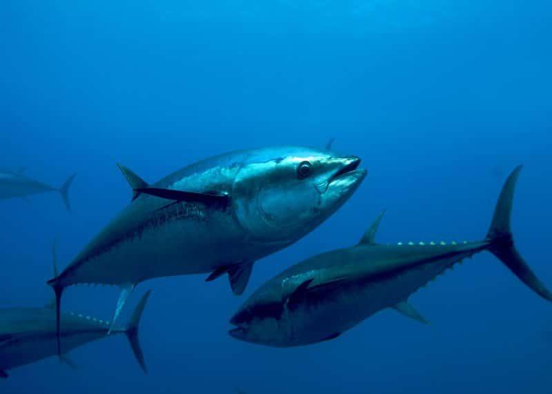 Атлантический тунец фото