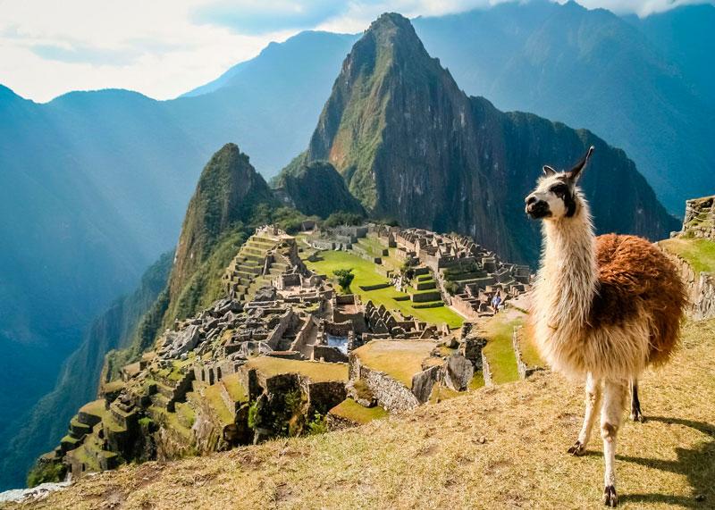 Лама Перу фото