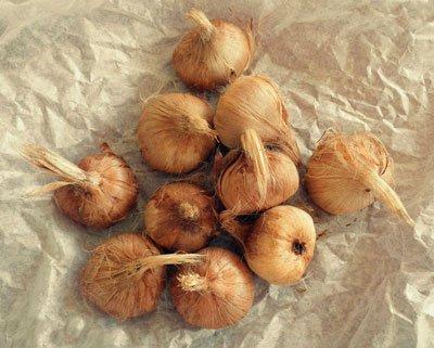 Луковицы шафрана фото