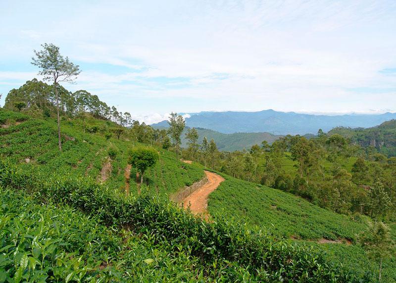 tea_plantation_foto