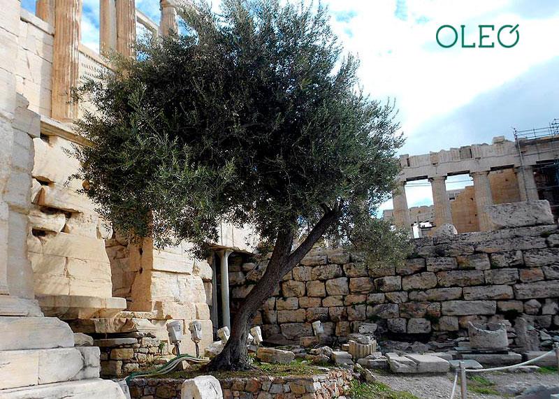 Оливковое дерево фото