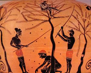Сбор урожая оливок фото