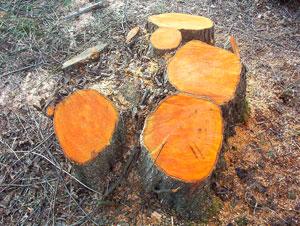 Дерево корица фото