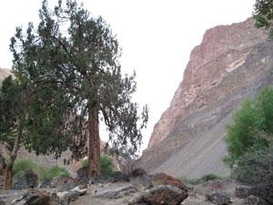 Можжевельник дерево фото