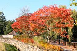 Сумах дерево осень фото