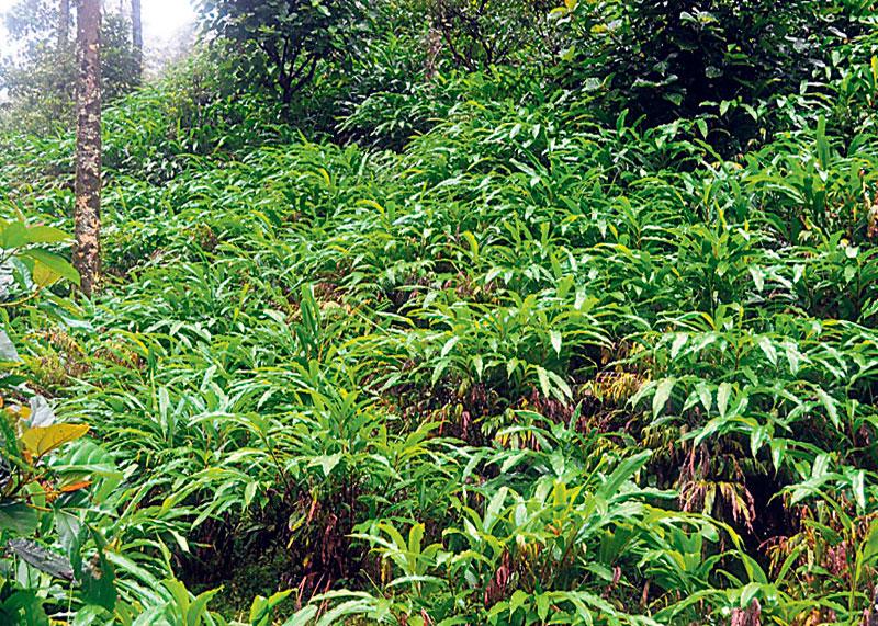 Кардамон плантация фото