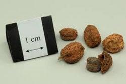 Медицинский кардамон фото