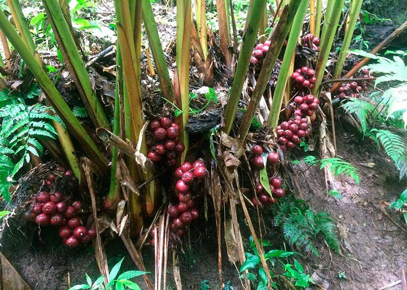 Плоды кардамона фото