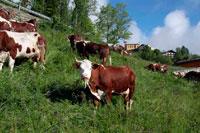 Коровы Валле Де Оста фото