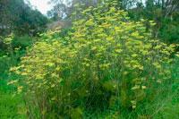 Травяной фенхель фото