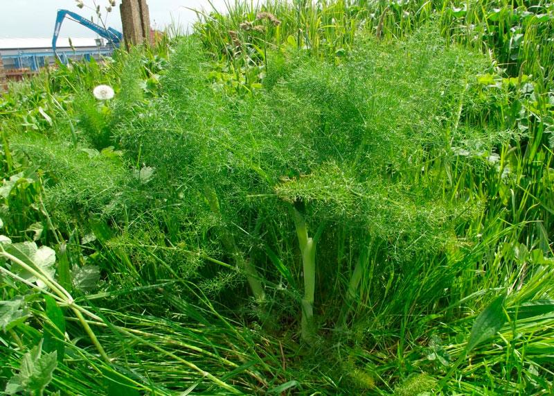 Зеленый фенхель фото
