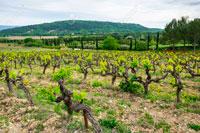 Прованс виноград фото
