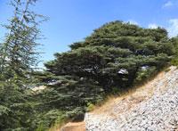 Кедры Ливанта фото