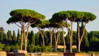Кедровые деревья под Римом фото
