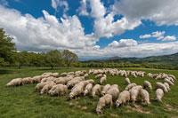Овцы Тоскана фото