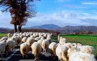 Овцы в теплые края фото