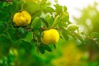 Айва дерево фото