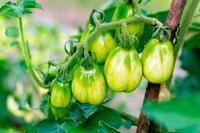 Зеленые спелые помидоры фото