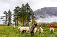 Норвежские овцы фото
