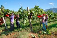 Сбор урожая во Франции фото