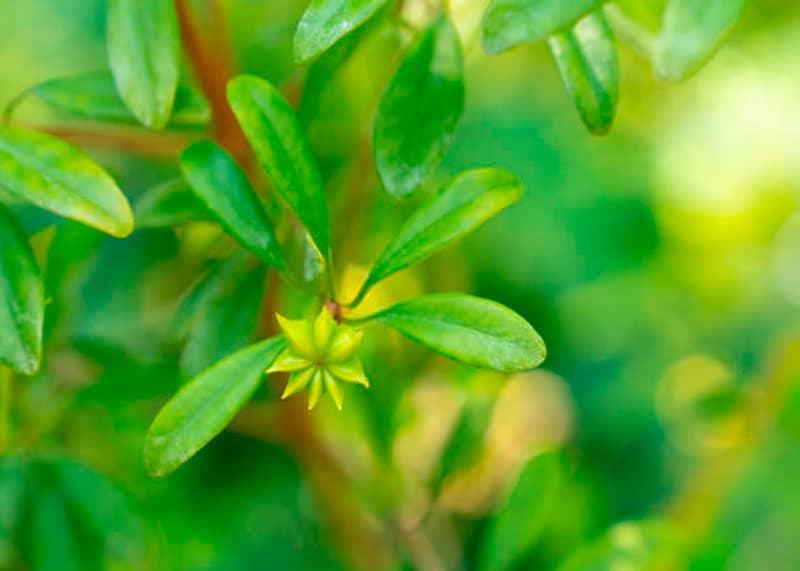 Цветок бадьяна фото