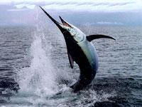 Рыба-меч фото
