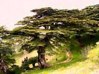 Дерево Левант фото