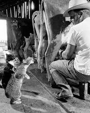 Скотоводство в Чопино фото